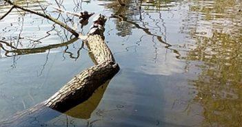 Neozoen: Schildkröten im Volksgartenweiher