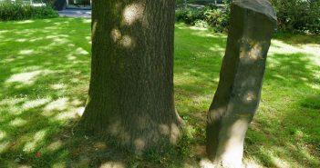 Den Baum im Vergleich zur Stele wachsen sehen