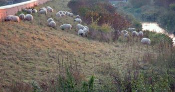 BdW22: Schafe am Brückerbach