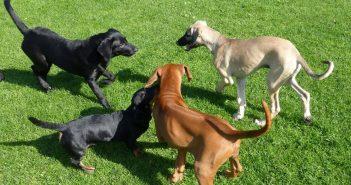 Spiel und Spaß in der Welpengruppe des Hundesportvereins Golzheim